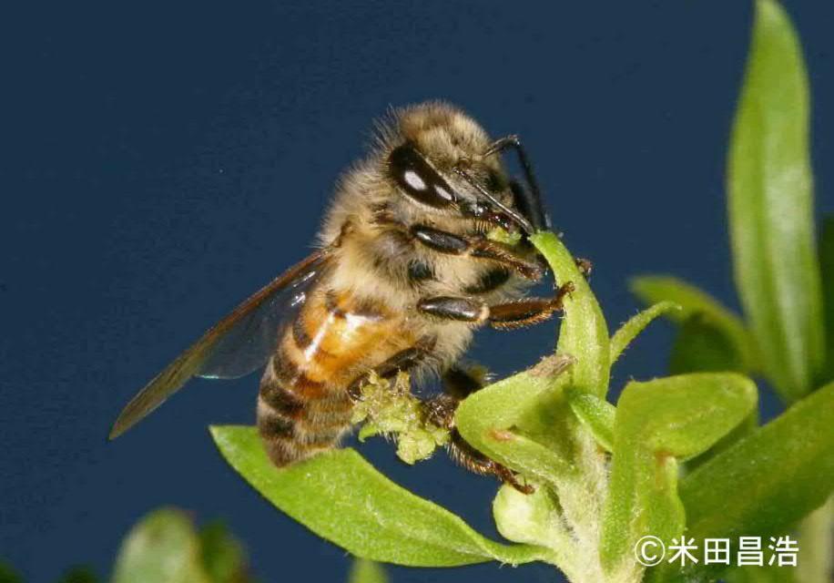 アフリカミツバチ / 国立環境研...