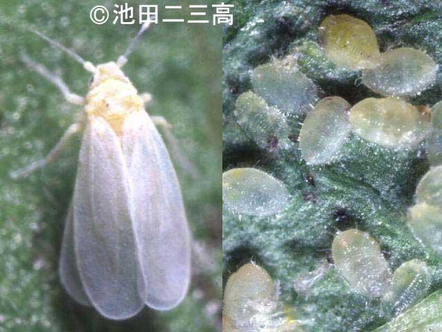 Trialeurodes Vaporariorum Invasive Species Of Japan