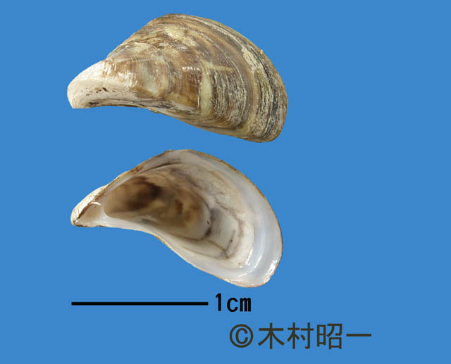 zebra mussels on animals