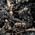 Link to press release about Local chemical eradication of the Argentine ant