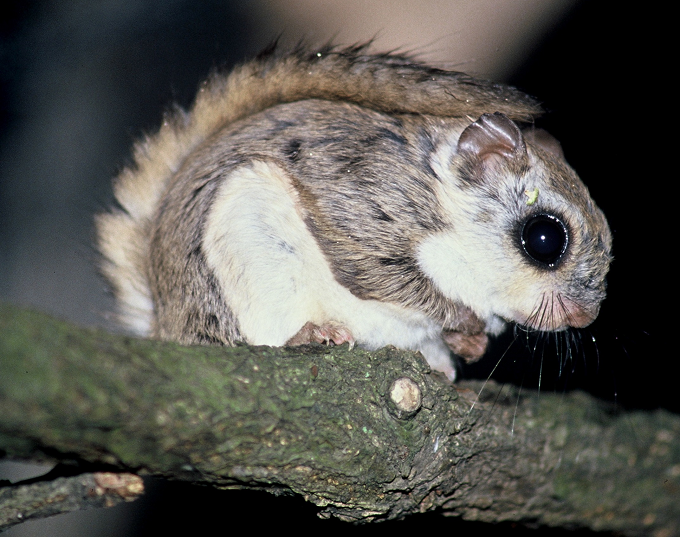 Photo:Flying squirrels are among the mammals estimated to be most highly impacted by ironwork (Photo by Hisashi Yanagawa)